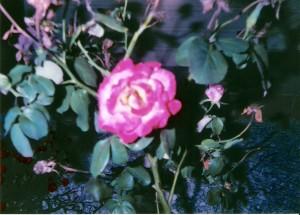 perty-rose_226568767_o